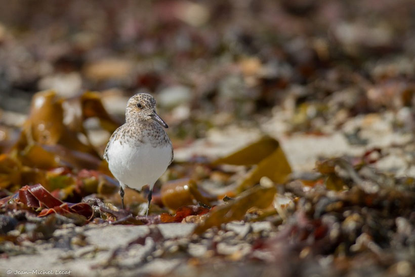 Becasseau sanderling, Calidris alba