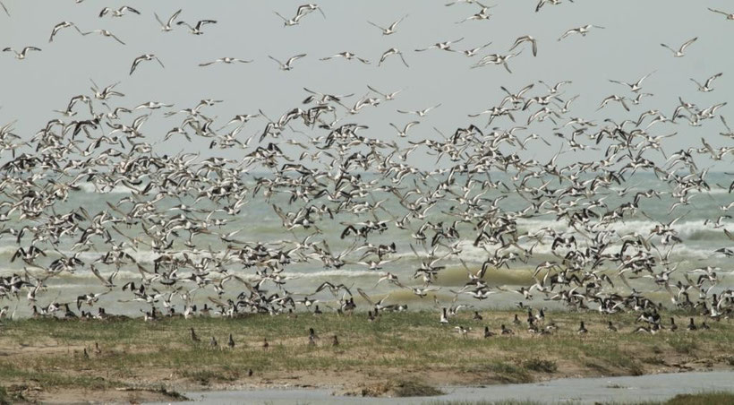 Les huitriers pie se concentrent sur les bancs de la baie de somme à marée haute