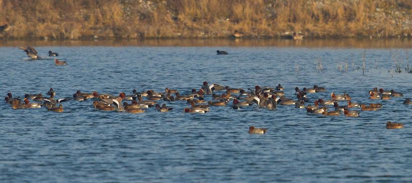 Troupe de canards siffleurs en hivernage au Hâble d'Ault