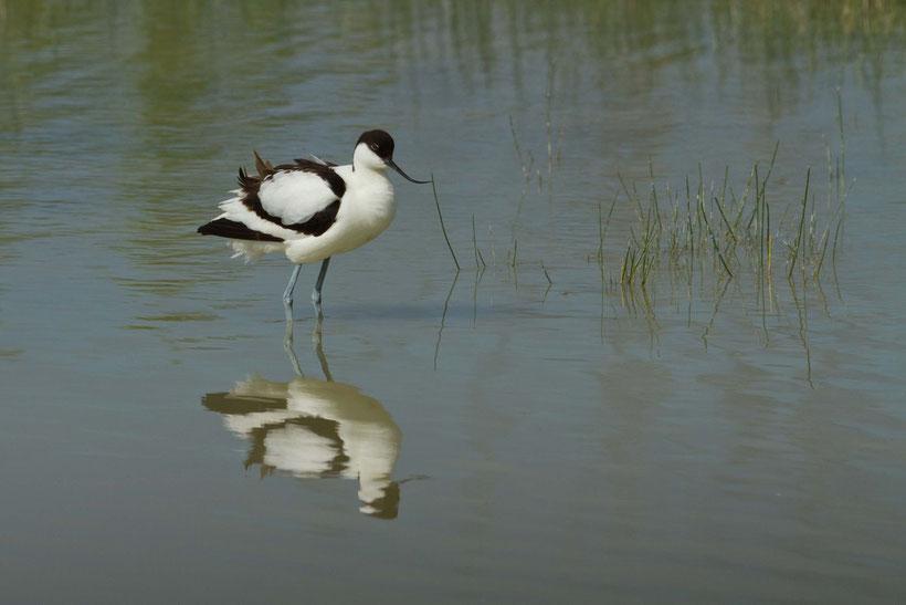 oiseau, baie de Somme, avocette élégante, recurvirostra avosetta
