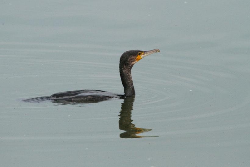 Le plumage du cormoran n'est pas étanche alors sa ligne de flotaison est très basse car son plumage se mouille