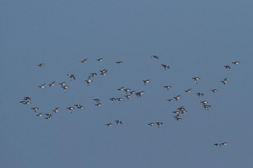 Troupe de canards siffleurs en hivernage en baie de Somme