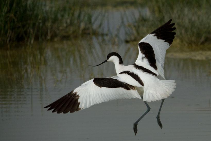 L'avocette est vraiment l'oiseau le plus représentatif de la baie de Somme