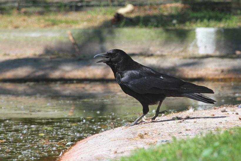 Corneille noire Corvus corone corone