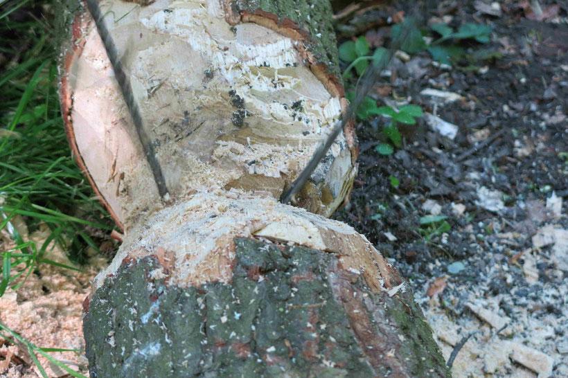 Baumstamm durchsägen