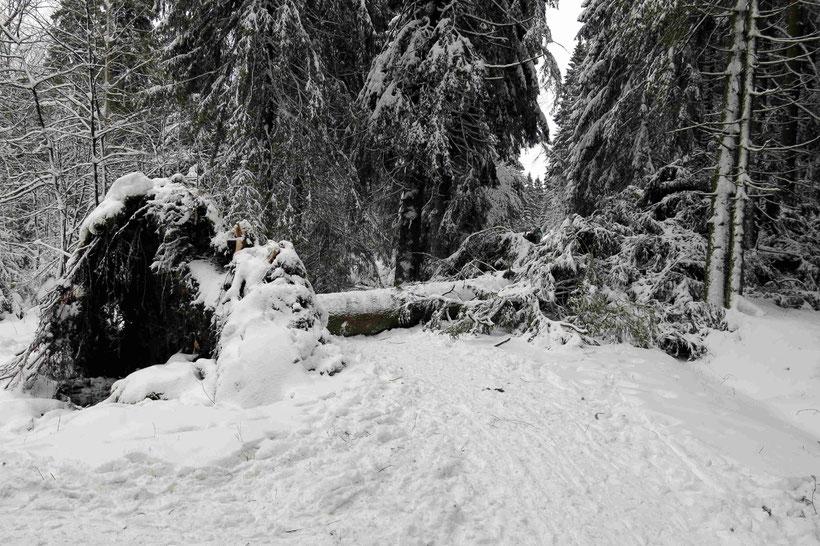 """Friederike"", entwurzelter Baum, Harz"