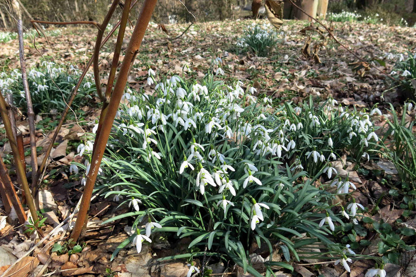 Schneeglöckchen - der Beweis, dass es doch allmählich vorbei ist mit dem Winter