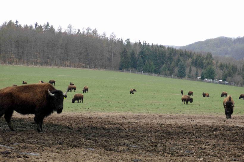 Bisongehege, Stangerode
