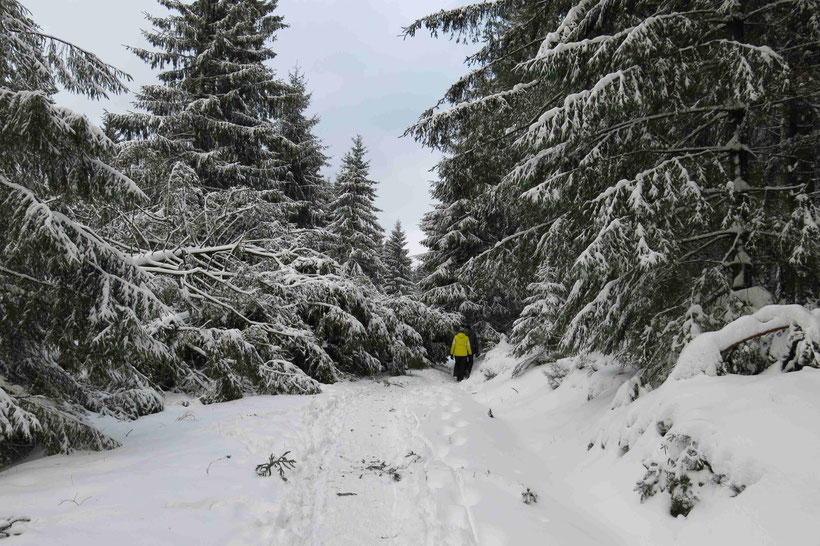 Torfhaus Winter Friederike umgestürzter Baum