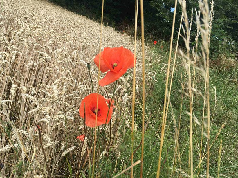 Mohnblumen, Getreidefeld bei Bad Harzburg