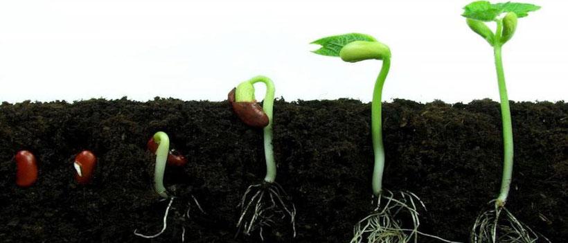 Keimungs Verlauf Cannabis Samen