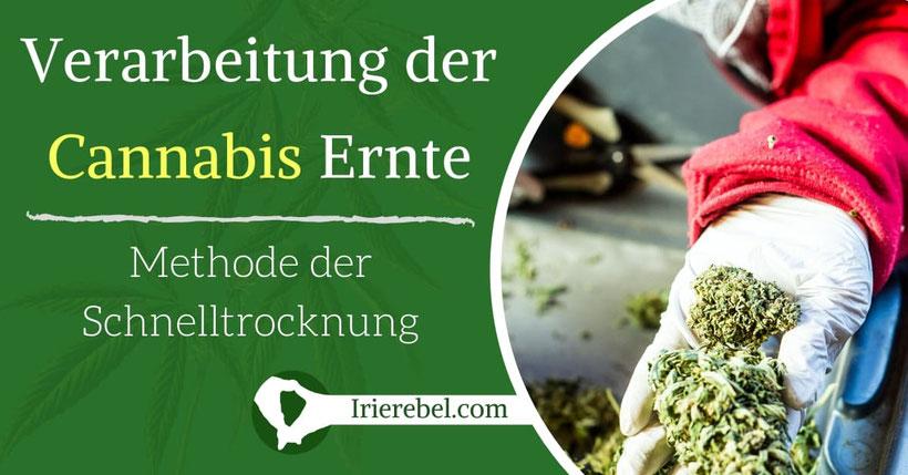Verarbeitung der Cannabis Ernte & Methoden der Schnelltrocknung