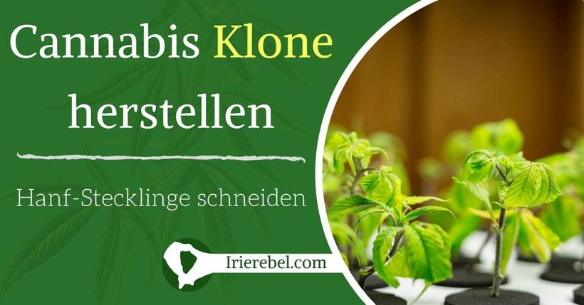 Cannabis Klone herstellen - Hanf Stecklinge herstellen