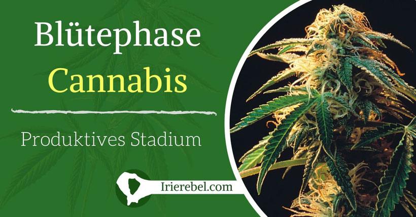 Blütephase Cannabis - Das produktive Stadium