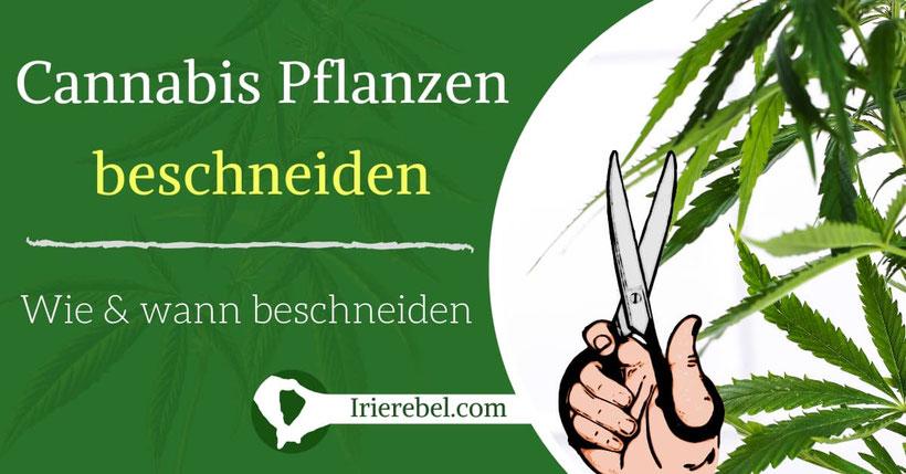 Cannabis Pflanzen beschneiden - Wie & wann Cannabis beschneiden