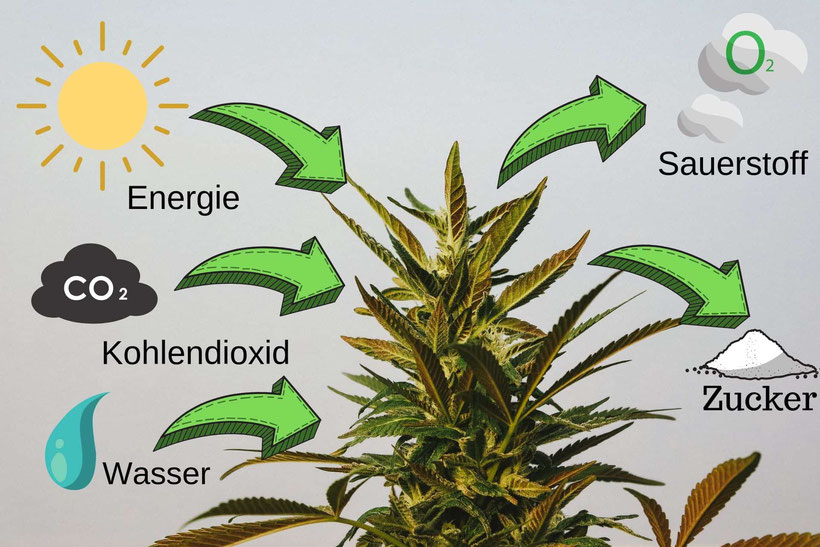 Fotosynthese Cannabis