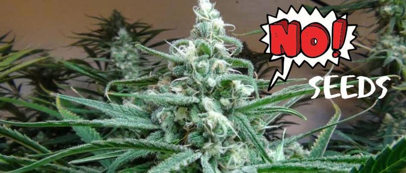 Was bedeutet Sinsemilla bei Cannabis