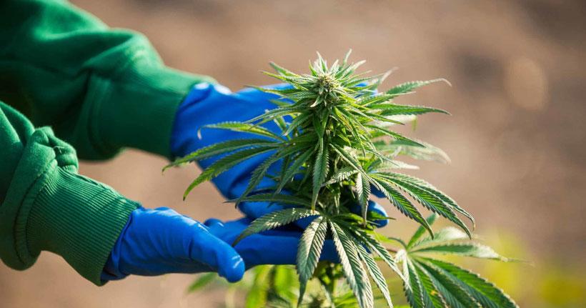 warum cannabis im freien anbauen