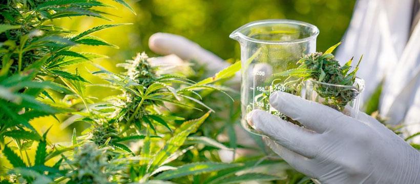 Warum Sie medizinisches Cannabis zuhause anbauen sollten