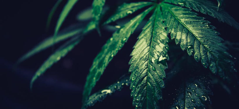 cannabis blatt wasser