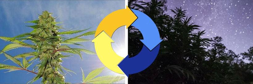 Cannabis Tag und Nacht Zyklus