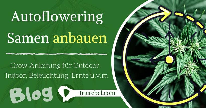 Autoflowering Samen anbauen - Outdoor & Indoor Grow Anleitung - Beleuchtung,  Dünger, Ernte u.v.m