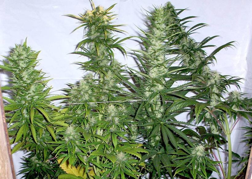 Cannabis pflanzen kurz vor der Ernte