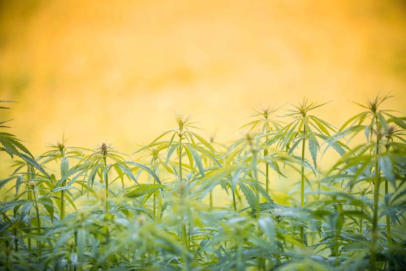Was benötigen Cannabis Pflanzen die Outdoor angebaut werden?