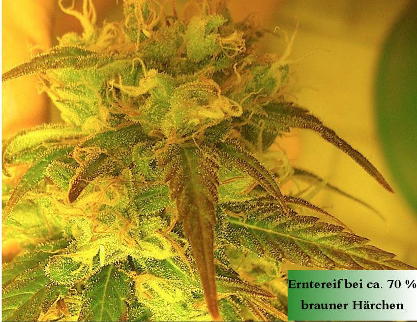 Reife Cannabis Blüte