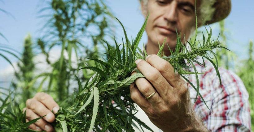 Wofür wird Cannabis verwendet
