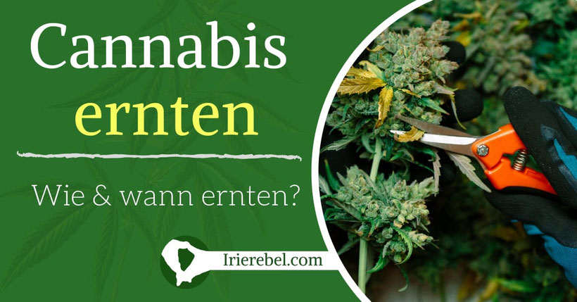 Wie und wann cannabis ernten