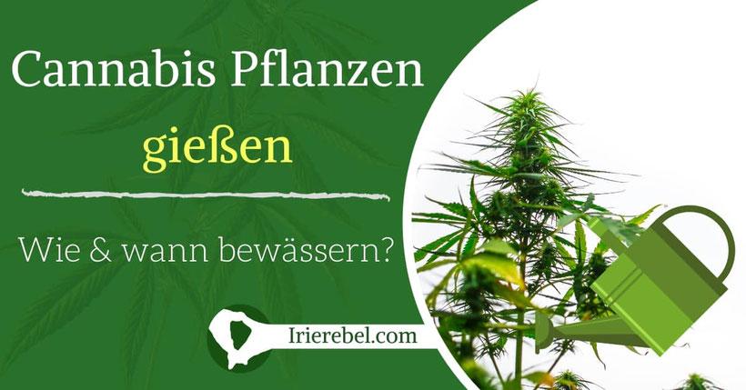 Cannabis Pflanzen gießen - Wie und wann bewässern
