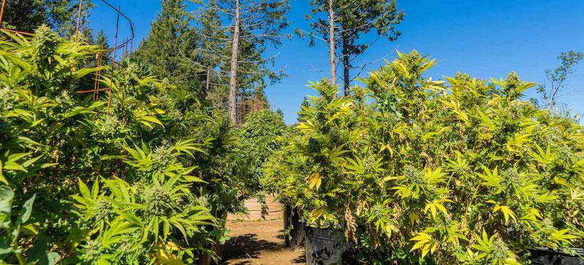 cannabis pflanzen in Töpfen outdoor