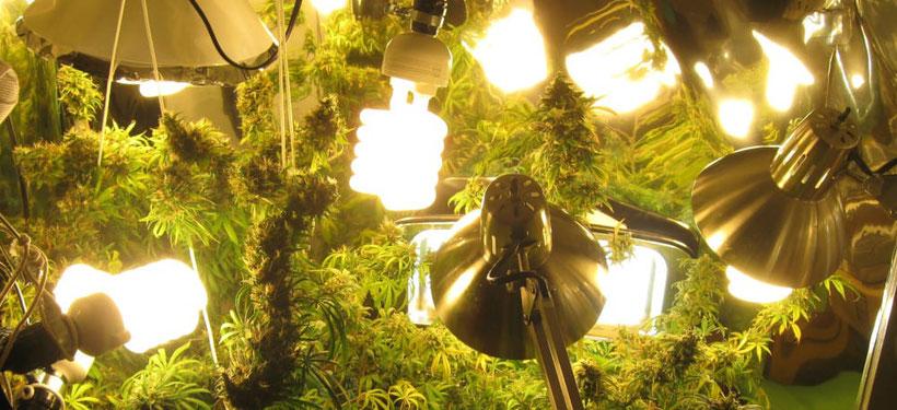 Abstand von CFL-Growlampen - Kompaktleuchtstofflampen