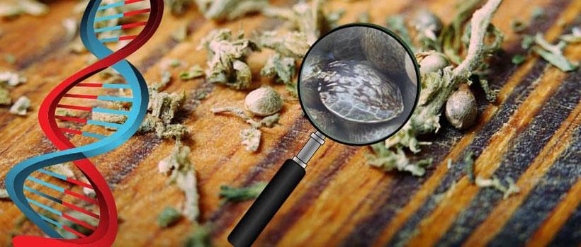 Die Bedeutung der Genetik bei Cannabis Samen