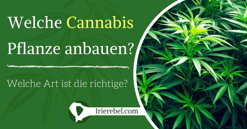 Welche Art von Cannabis Pflanze anbauen