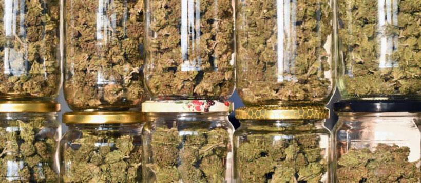 Die getrocknete Cannabis Ernte veredeln (fermentieren)