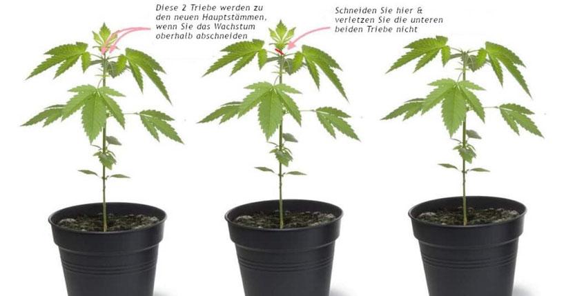 cannabis mit der topping methode beschneiden