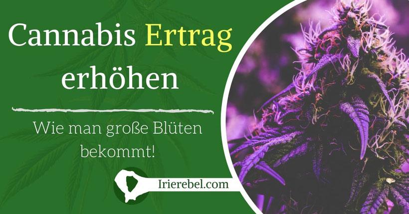 Wie man große Cannabis Blüten erhält & den Ertrag erhöht