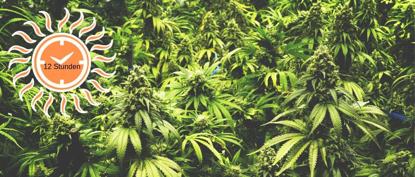 Die Blüte-Phase Cannabis