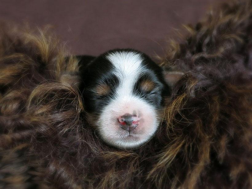 biewer, yorkshire, terrier, welpen, kleine, hunde, hunderasse, zucht, züchter,