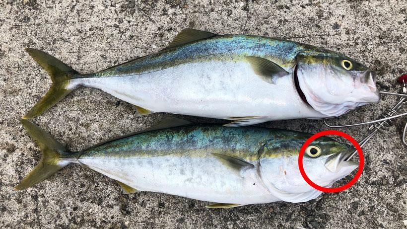 ヒラマサ・ブリとの違い 明石海峡淡路島サイド 激投ジグで青物ヒラマサ(?)獲った
