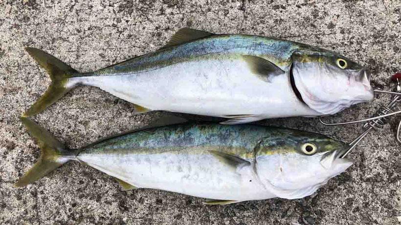 ヒラマサ(平政)? 明石海峡淡路島サイド 激投ジグで青物ヒラマサ(?)獲った