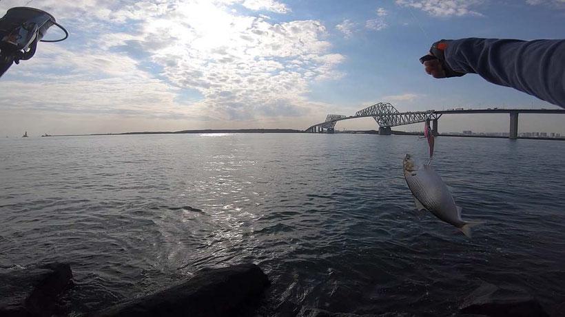 コノシロパターン シーバスデイゲーム 若洲海浜公園人口磯での釣り 69cmゲット!