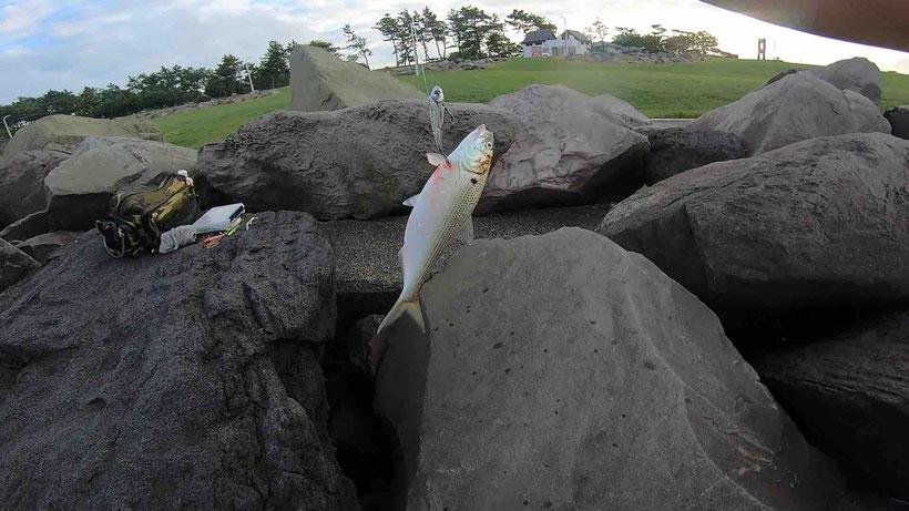 ベイトはコノシロ 東京ゲートブリッジデイゲームでシーバス連発 活性高い若洲海浜公園の朝まずめの釣り