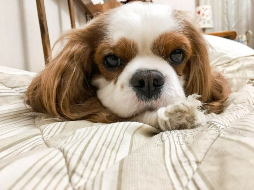 Carattere del Cavalier King: cavalier sul letto