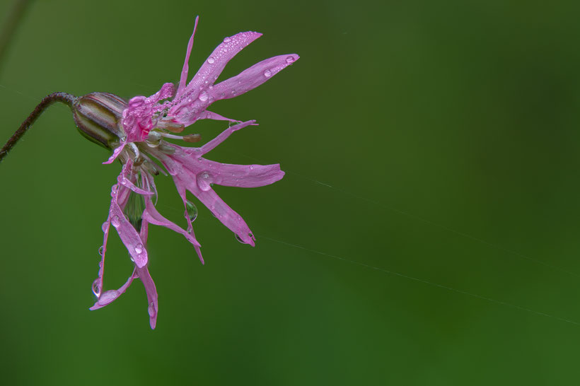 Easy subject ragged robin (Focus bracketing out of 62 single photos, Z6 + Sigma 105mm / 2.8, f5.6 , 1/200s, ISO400)
