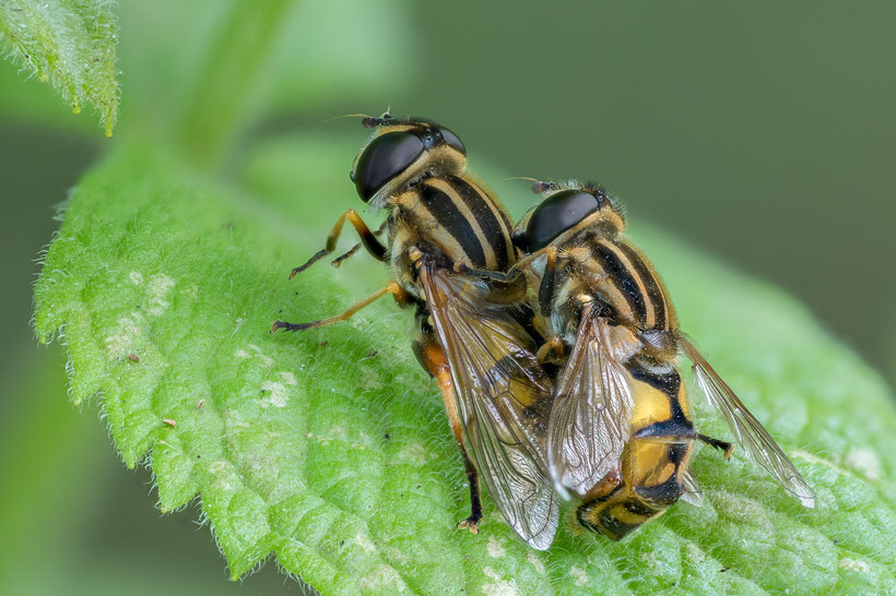 Mating hoverflies (Stack out of 48 single photos, Z6 + Sigma 105mm/2.8 with Raynox DCR250, f11, 1/30s, ISO800)