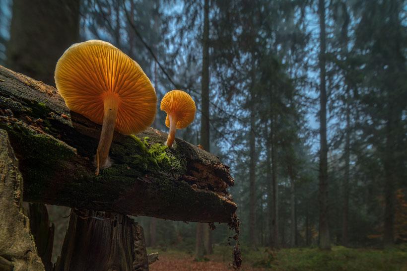 Buchenschleimrüblinge im Wald (manueller Stack aus 11 Einzelaufnahmen, Z6 + Laowa 12mm/2.8 + 1,4-fach Laowa Magic Shift-Converter + Techart Adapter, f8, 1/4s, ISO100)
