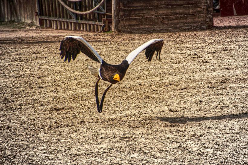 Adler, Greifvogel, Amneville